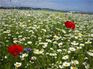 Transylvanian flower meadow